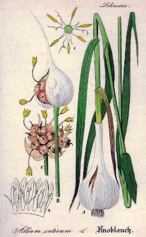 ff3703384336c53a1a14baa477f4052c--botanical-drawings-botanical-illustration.jpg