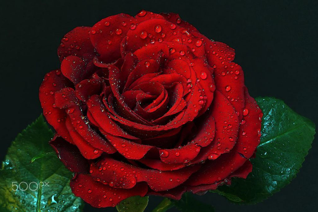 Almas-Bavcic--red-rose.jpg