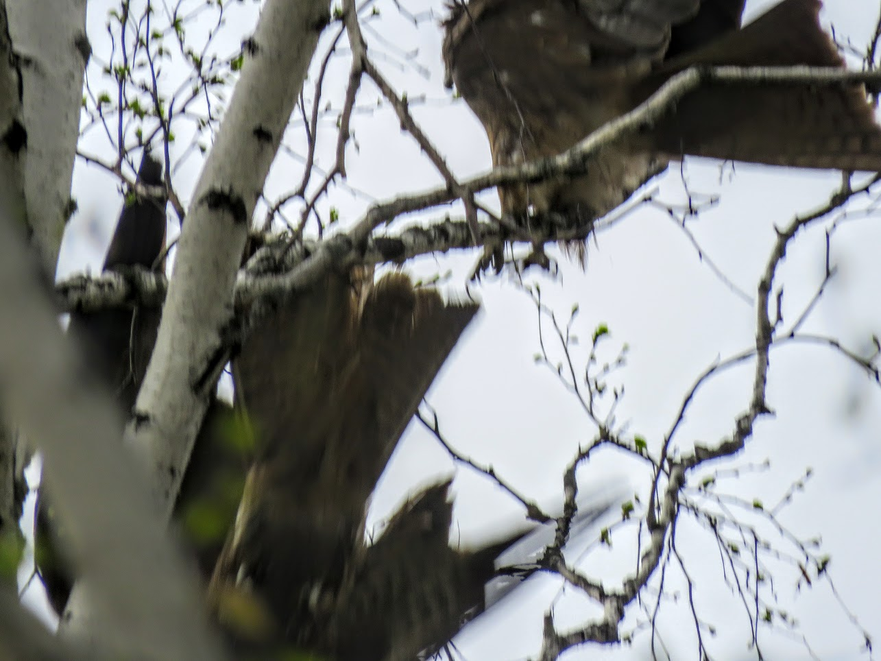 Фотоохота на чёрных коршунов. Рыжие котики и мороженое Сибирские голубые ели) IMG 0163